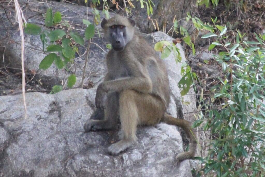 Baboon IMG_1305