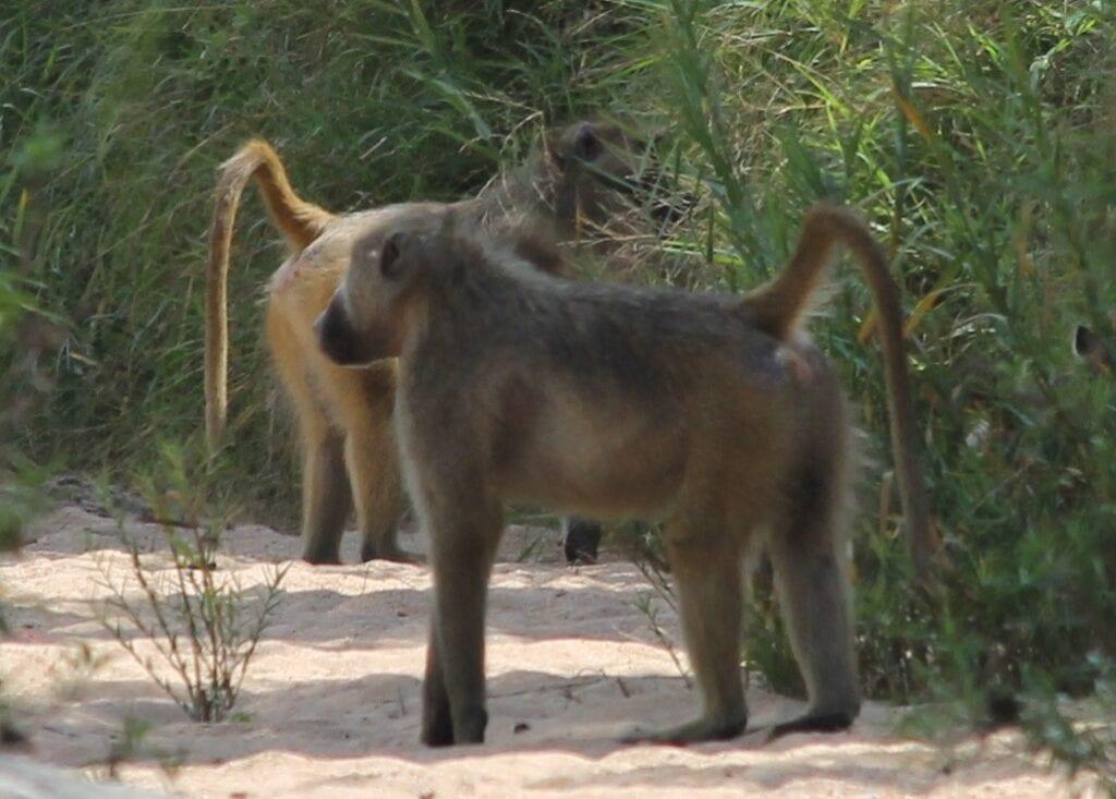 Baboon Pair