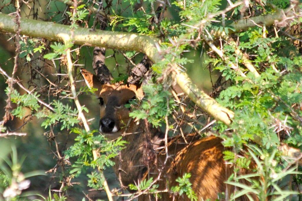 Bushbuck hidden