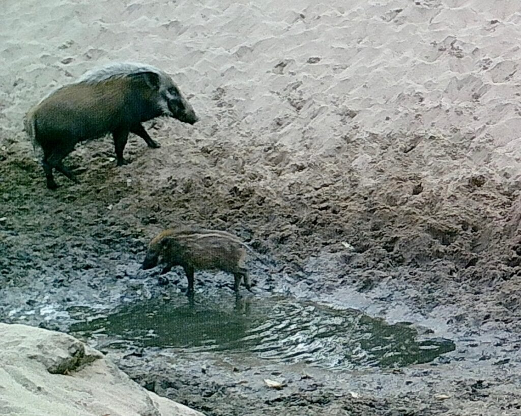 Bushpig Mom & Baby 2