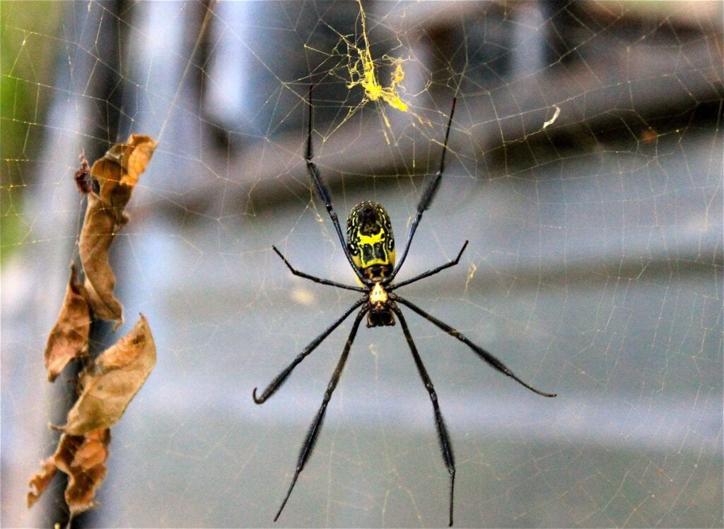 Creepy Yellow Orb Spider