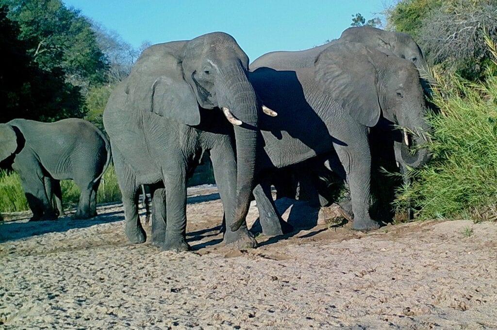 elephant chowachowa